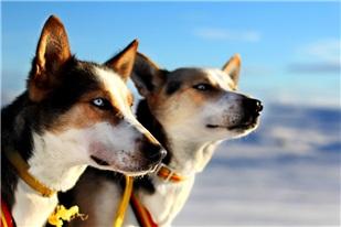 Hundesledekjøring er populært om vinteren. Bli med på en morsom og fartsfylt kjøring med hundespann ut på langstrakte vidder.