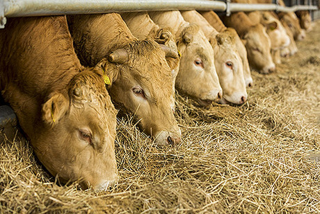 Allevamento del bovino da carne