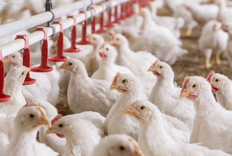 Poultry farming requires optimal poultry health and nutrition