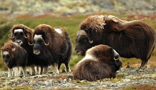 Dovrefjell in FjellNorway is one of the few places in the world where you can go on a guided musk ox safari.  - Photo: Roger Brendhagen