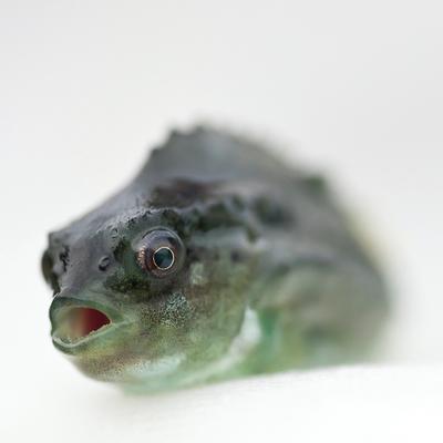 Leppefisk bilde