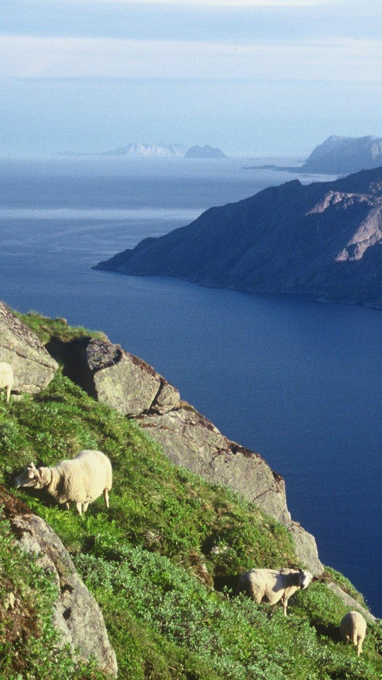 Lofotlam, lam i naturen. Foto: Gunnar Karlsen/Lofotlam