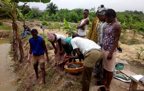 Catfish farmers in Nigeria