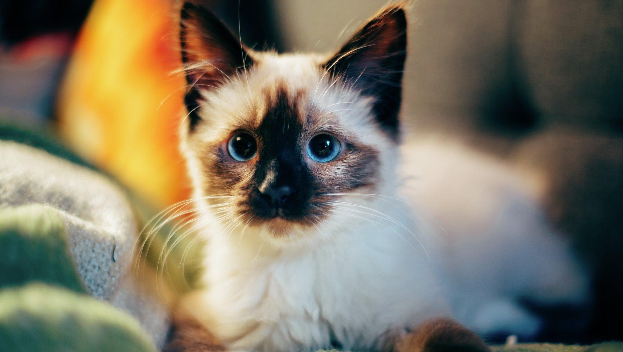 Vit katt