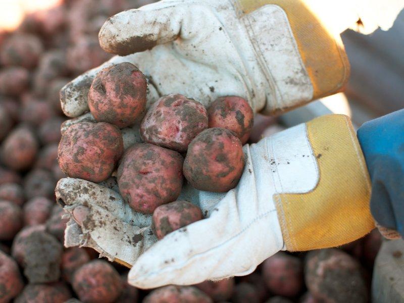 poteter jord bondegård
