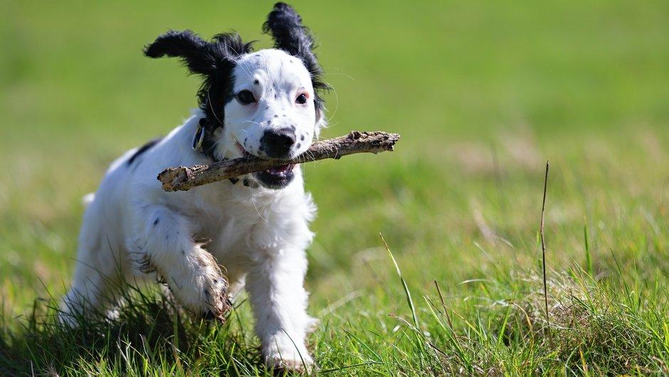 Svart/vit hundvalp