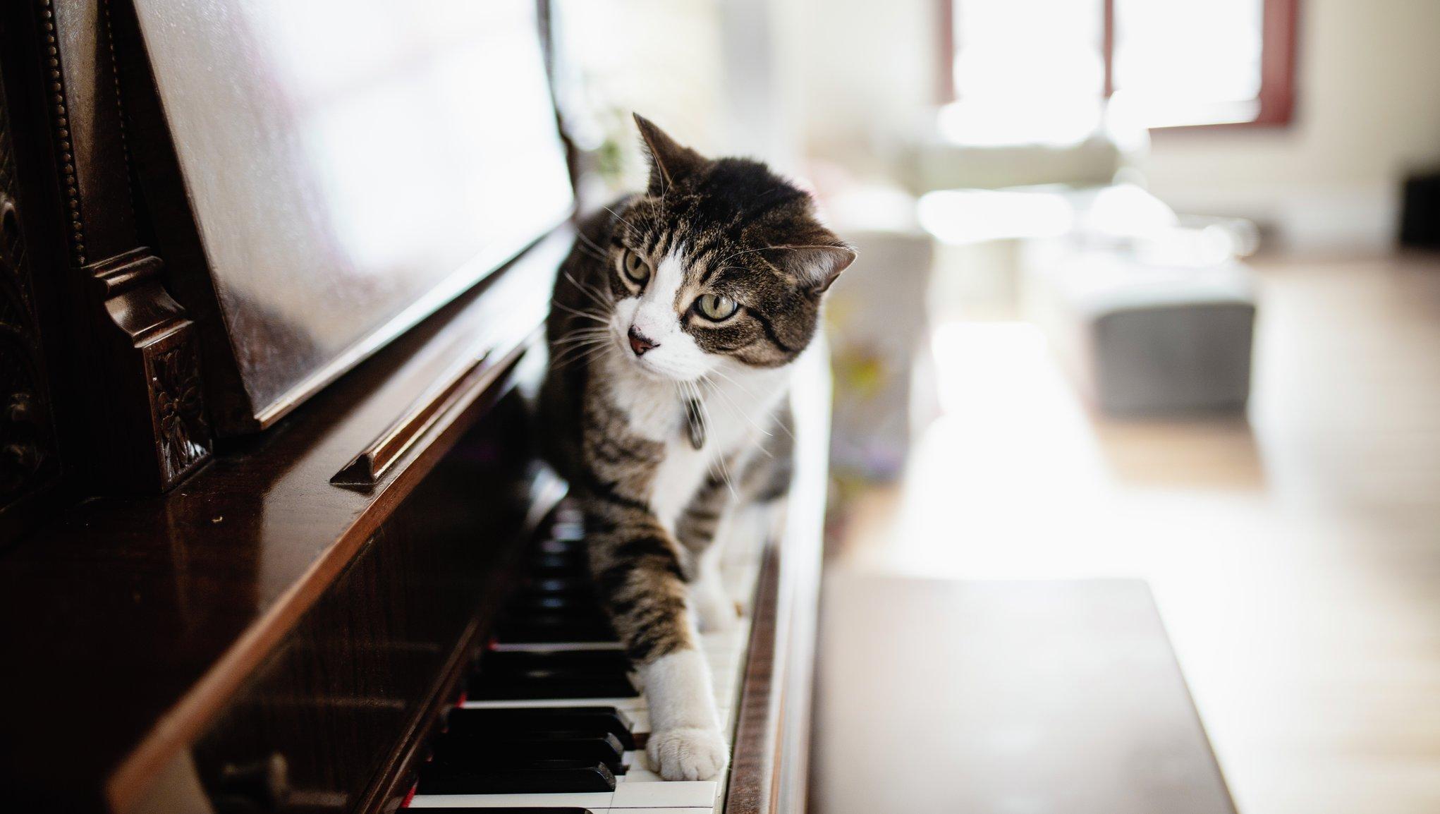 Kissa kävelee pianon koskettimilla