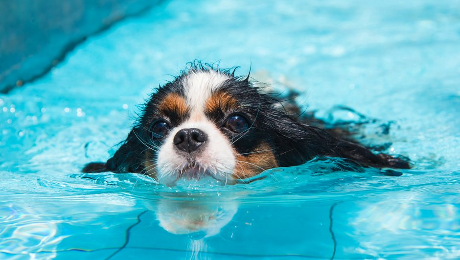 Hund simmar