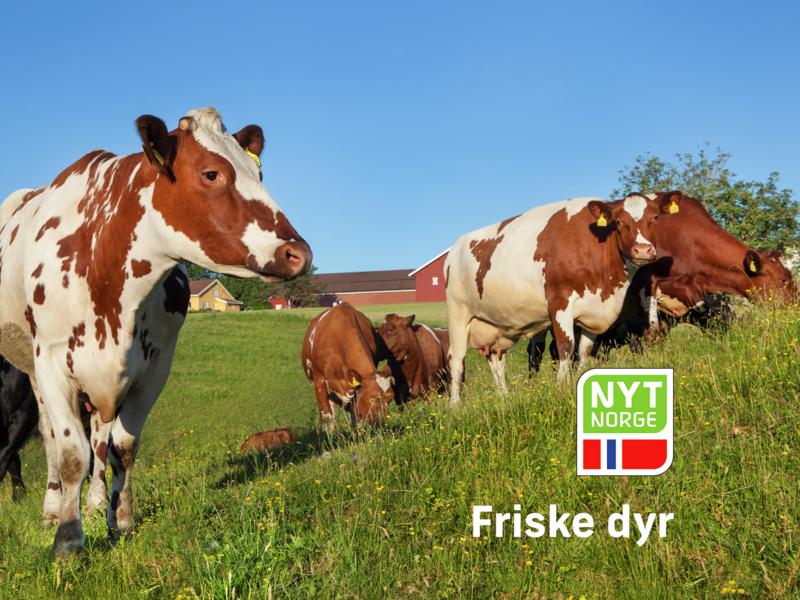Norske husdyr er friske dyr