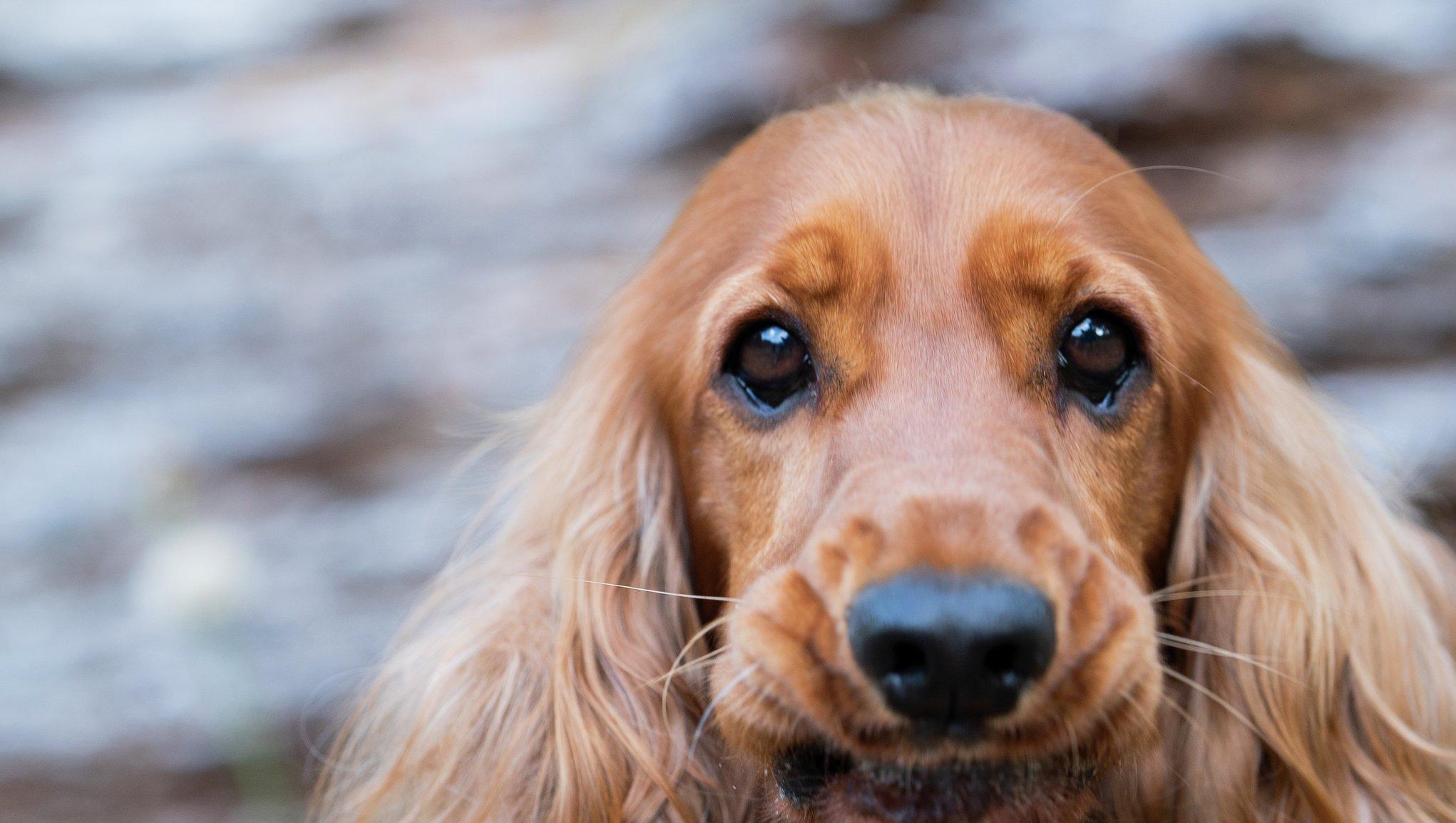 Koiran Rekisteröinti Hinta