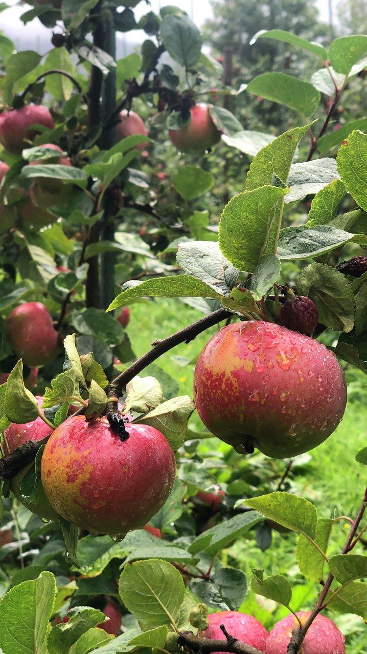 Epler ved Grønvik Gard. Foto: Thomas Mortveit