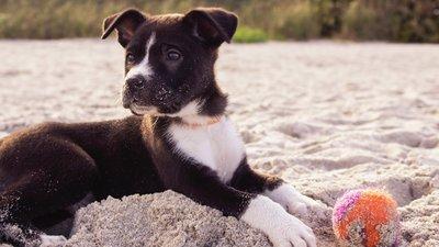 Hundvalp på stranden