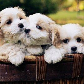 hundvalpar