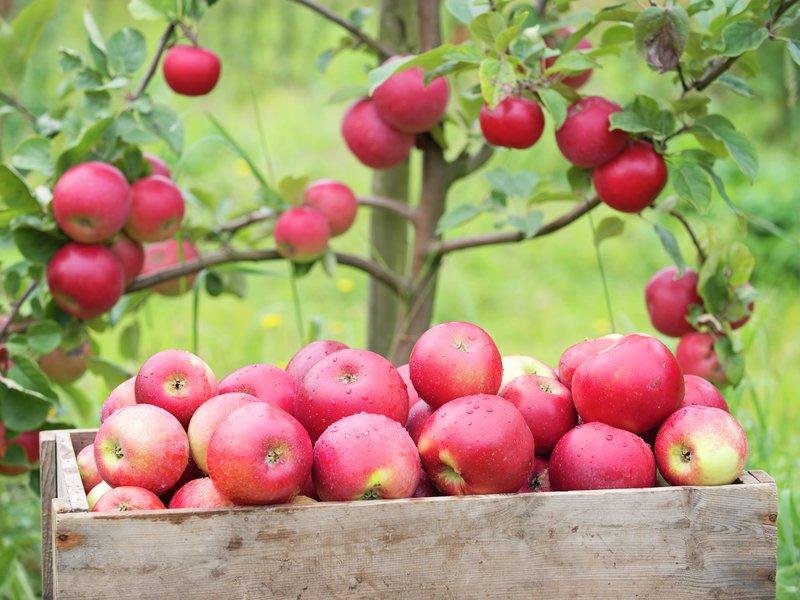 Epler fra Grønvik Gard, Hjelmeland. Foto: Elin Engelsvoll