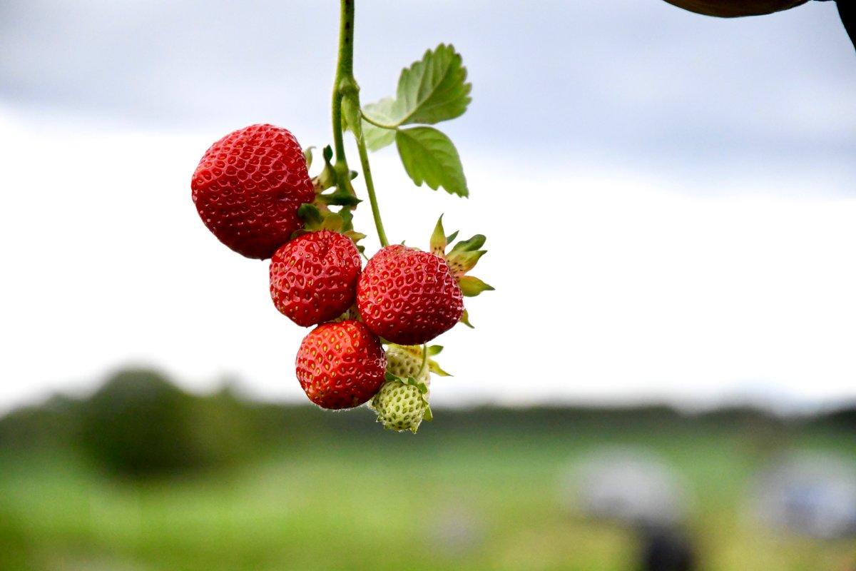 En guide til norske jordbær