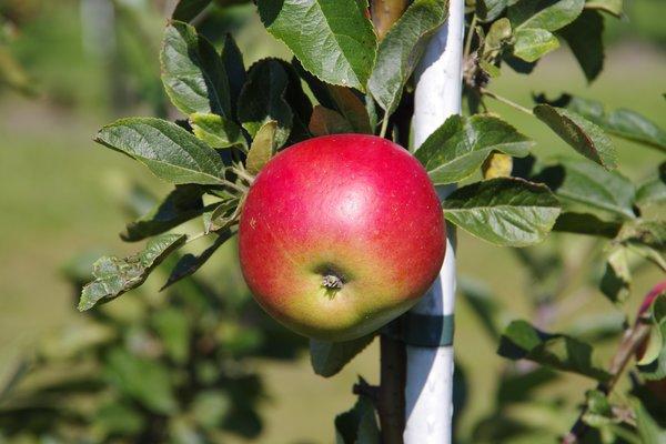 Økologisk Eple uten sprøytemidler Dyre Gård