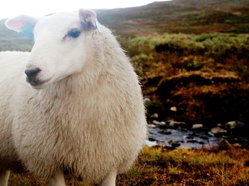 Sauen min, jeg takker deg, deilig ull du gir til meg... Norsk sau og lam gir mer enn kjøtt. Hva skulle vi gjort uten naturproduktet ull? Foto Eivor Eriksen