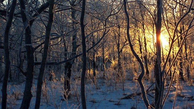 trær og lav sol