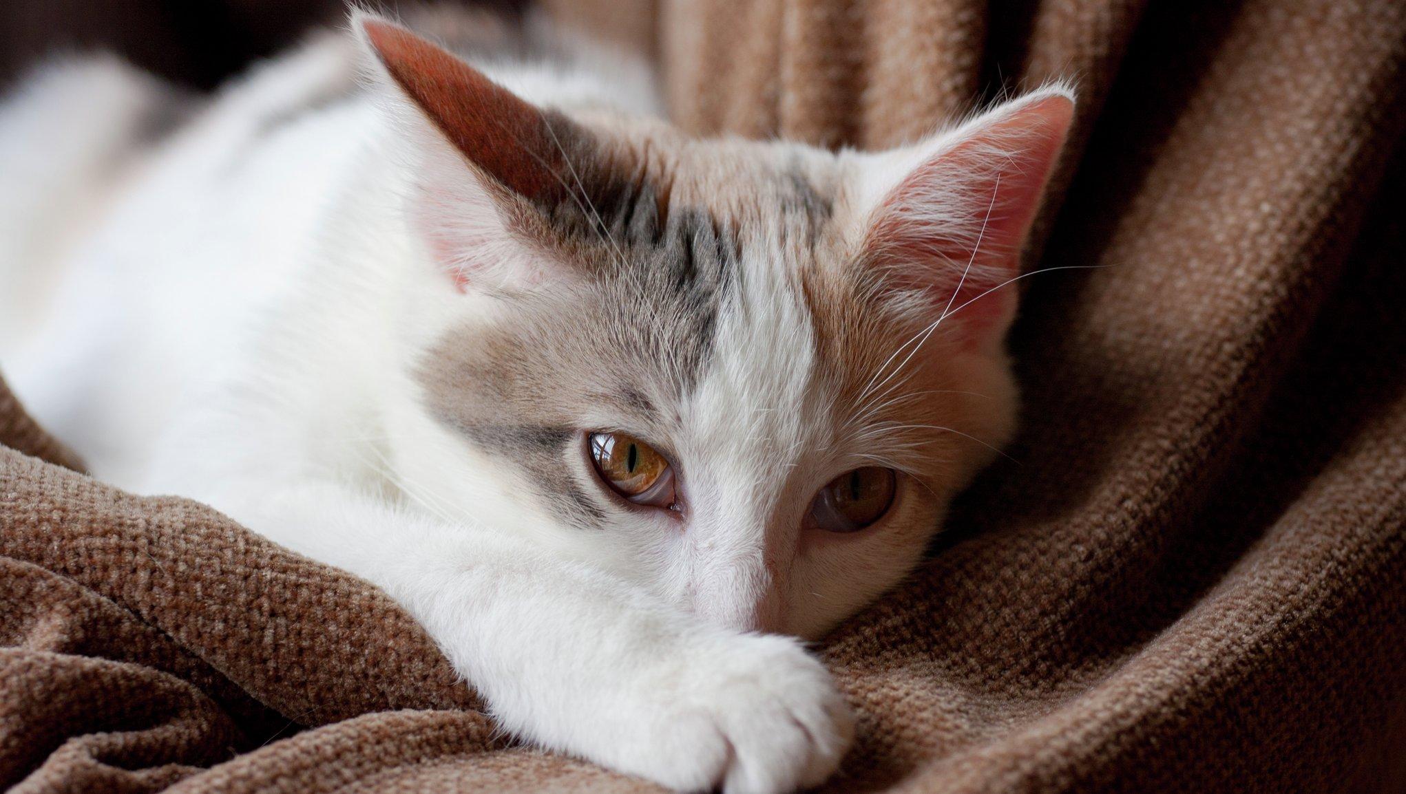 Magsjuk katt vilar
