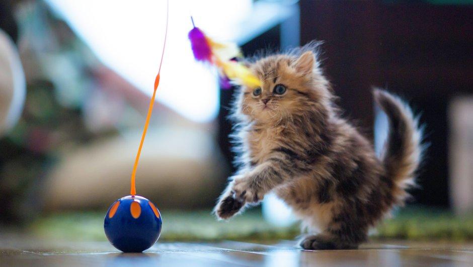 kattunge leker med leksak