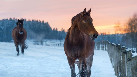 Hästar i vinterhaga