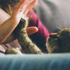 katt gör high five