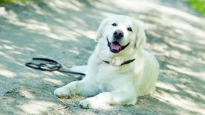 Ljus golden retriever