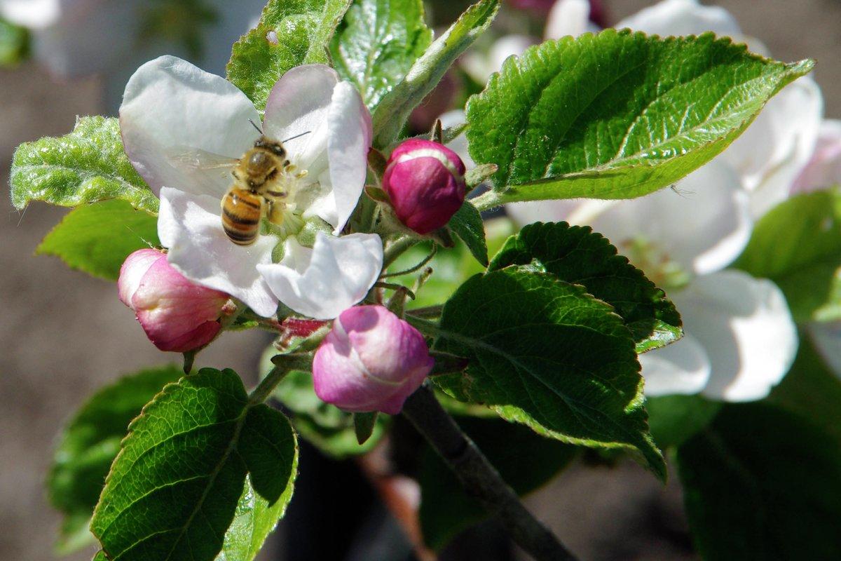 Bie pollinerer økologisk epleblomst på Dyre gård