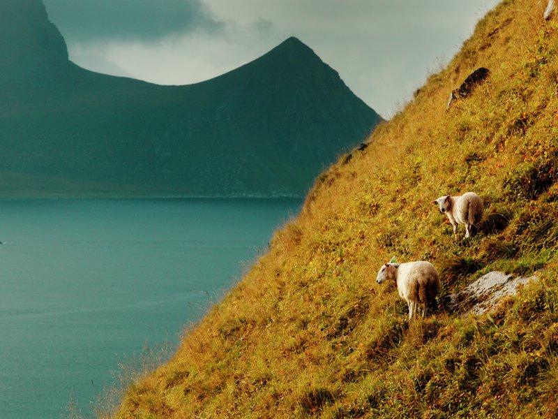 Lam og sau i bratte fjell i Lofoten