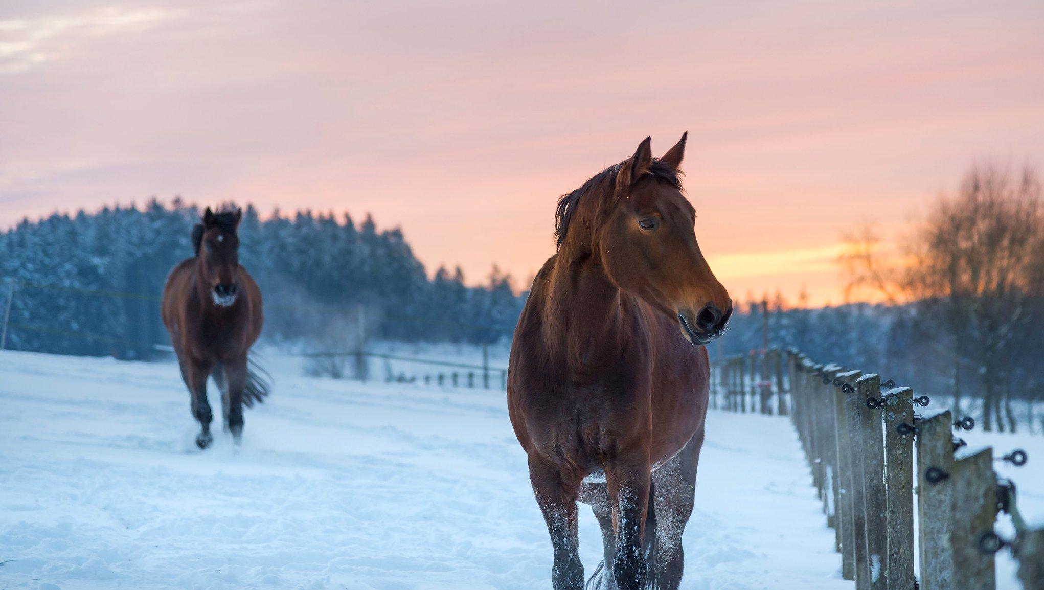 hästar i hage