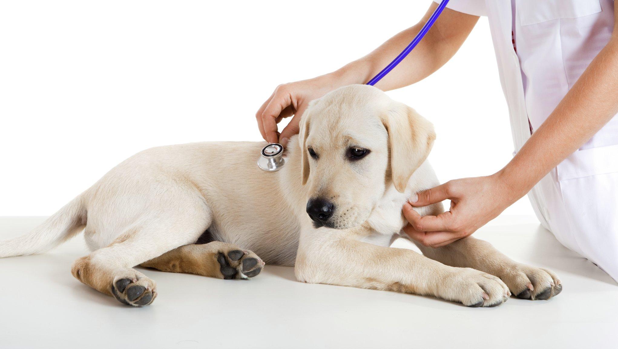 Sygeforsikring til hund