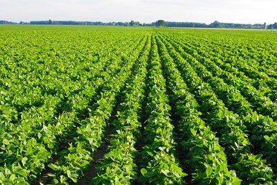 Produksjon av soya