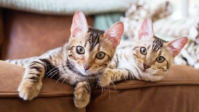 katter i soffa