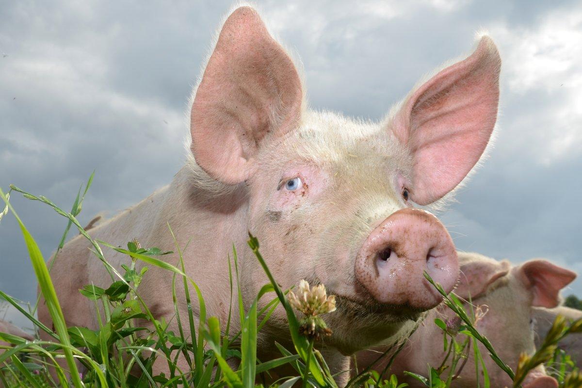 Økologisk gris frittgående