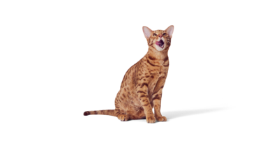 Bengal katt
