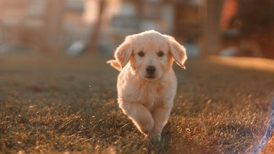 Golden retriever valp