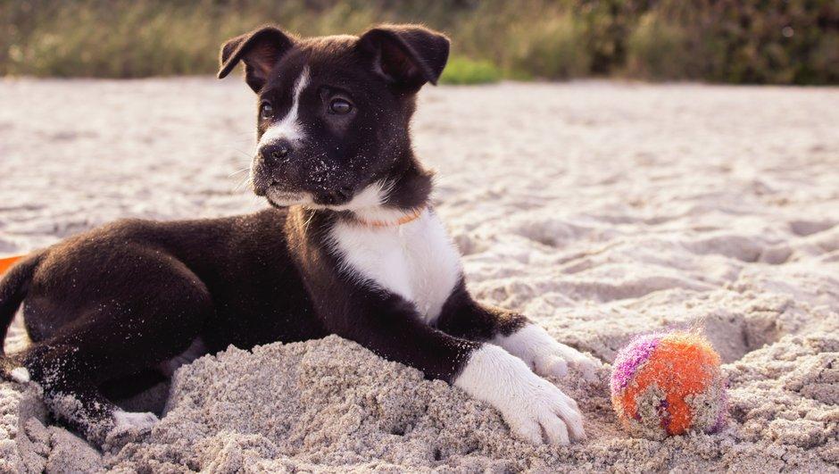 Svartvit hundvalp med boll