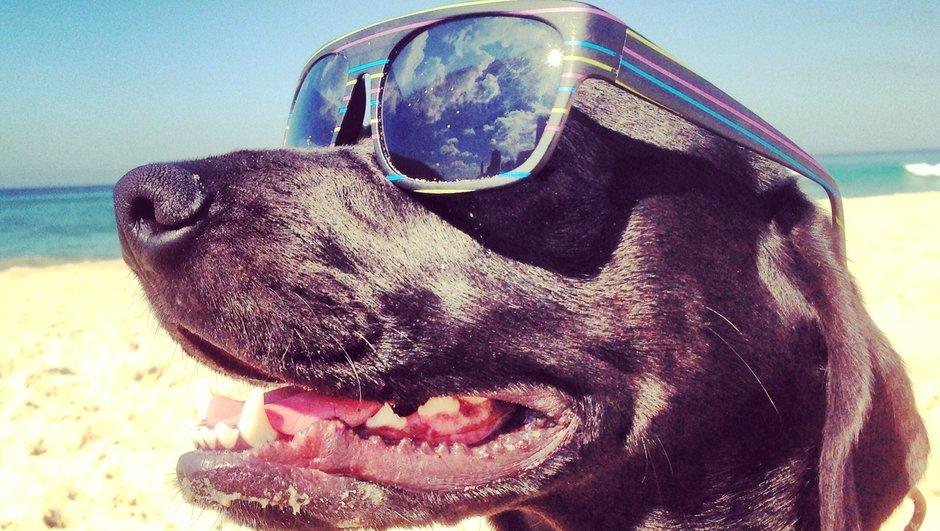 Hund med solglasögon