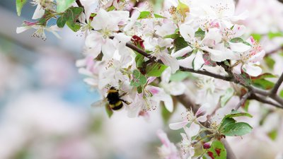 Sanering av geting och bi