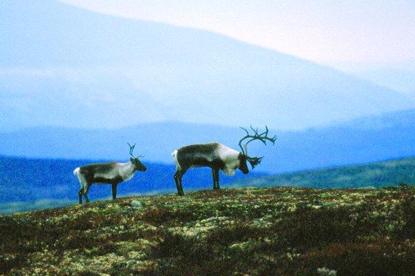 Reinsdyr i fjellet