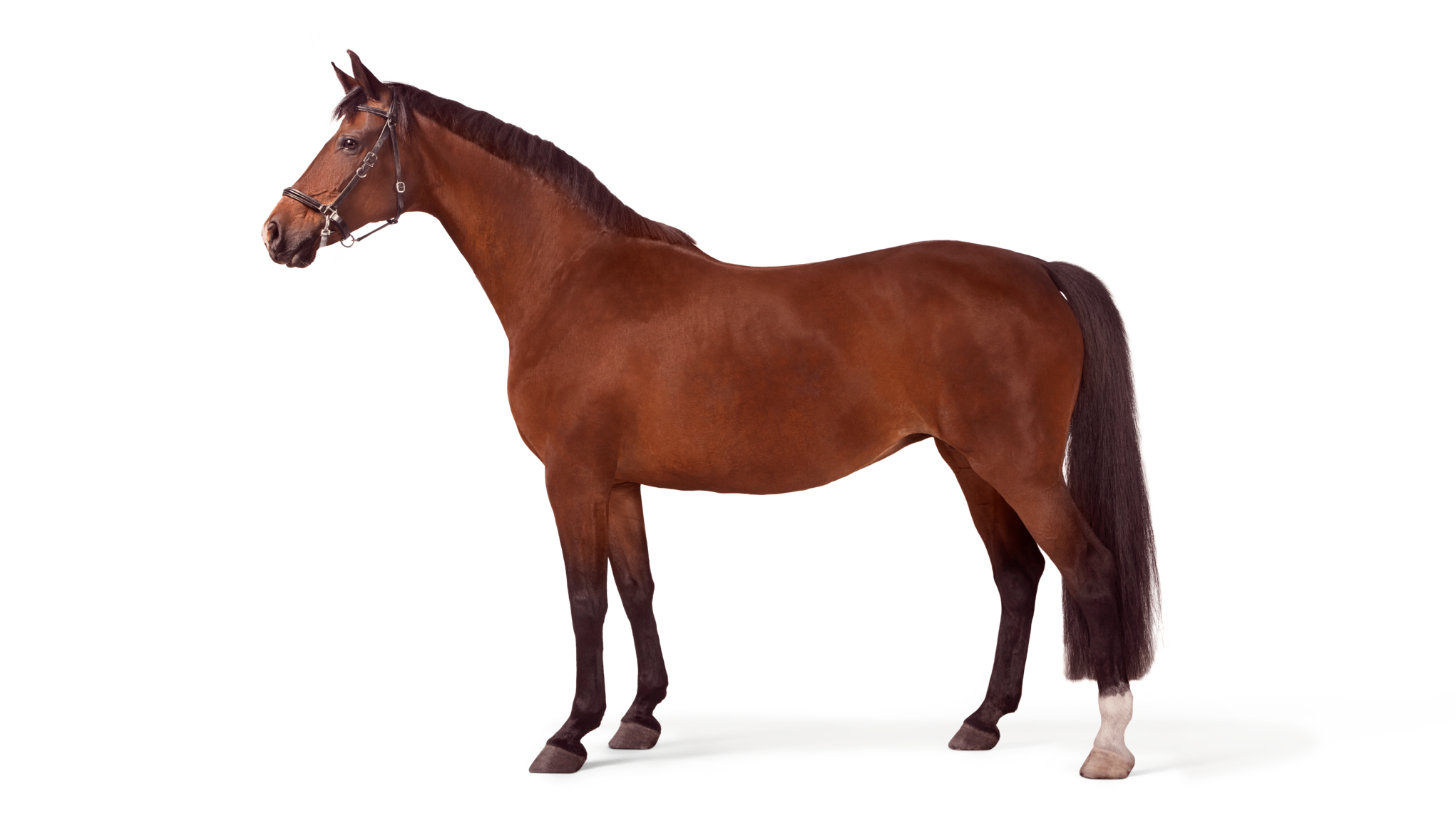 Brun häst