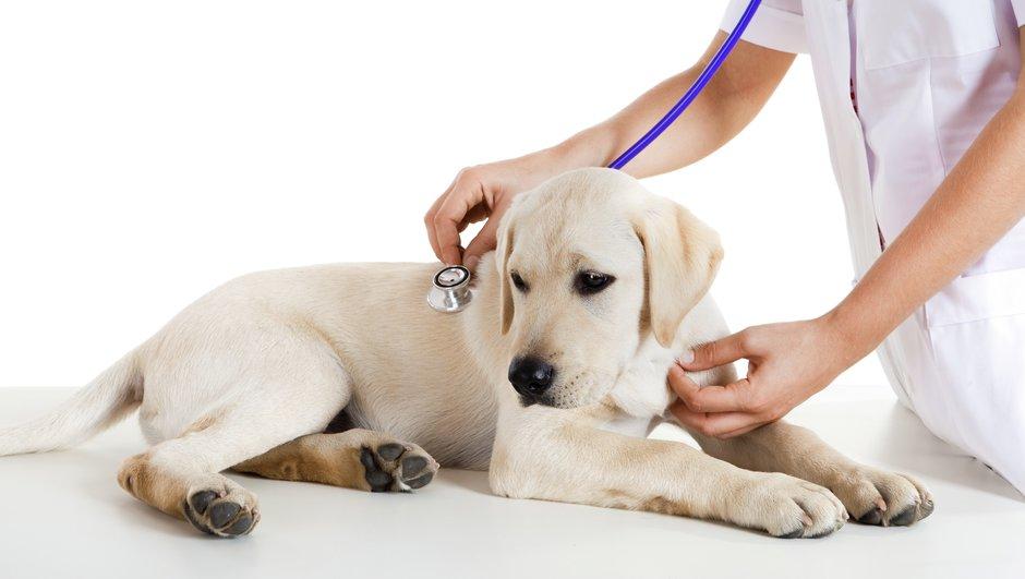 Golden retrievervalp hos veterinär