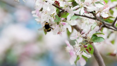 Bi i blommande körbärsträd