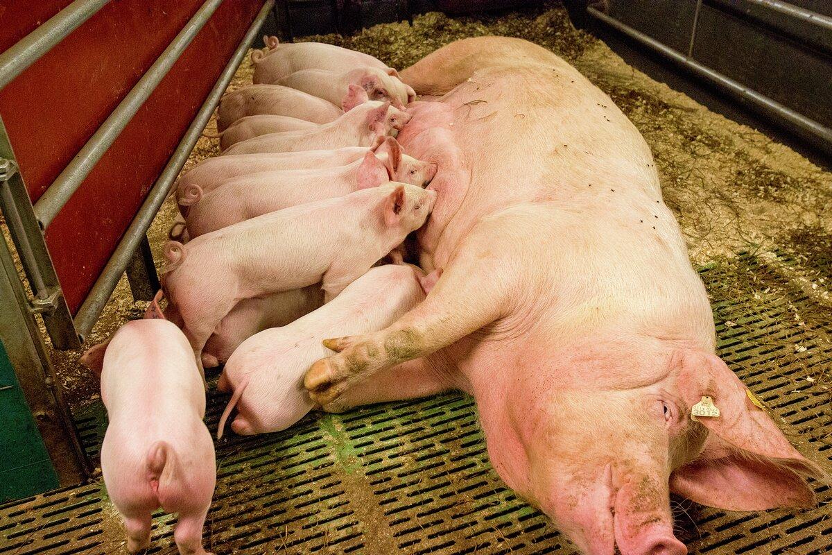 KSL og svineproduksjon