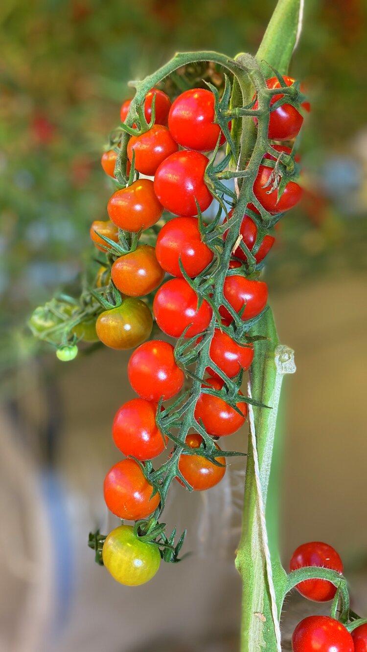 Norske tomater fra Jæren