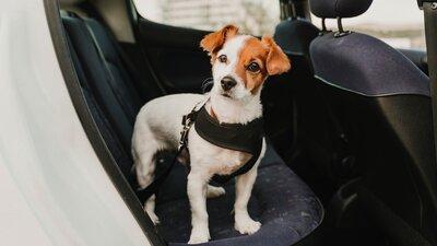 Koira kiinnitettynä valjailla takapenkille