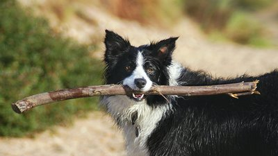 Border collie badar