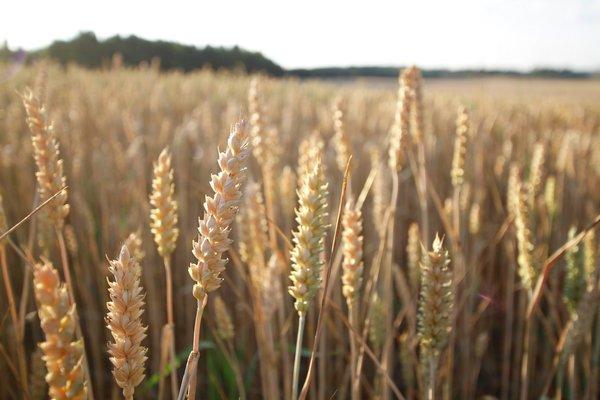 Kornsesongen er i gang