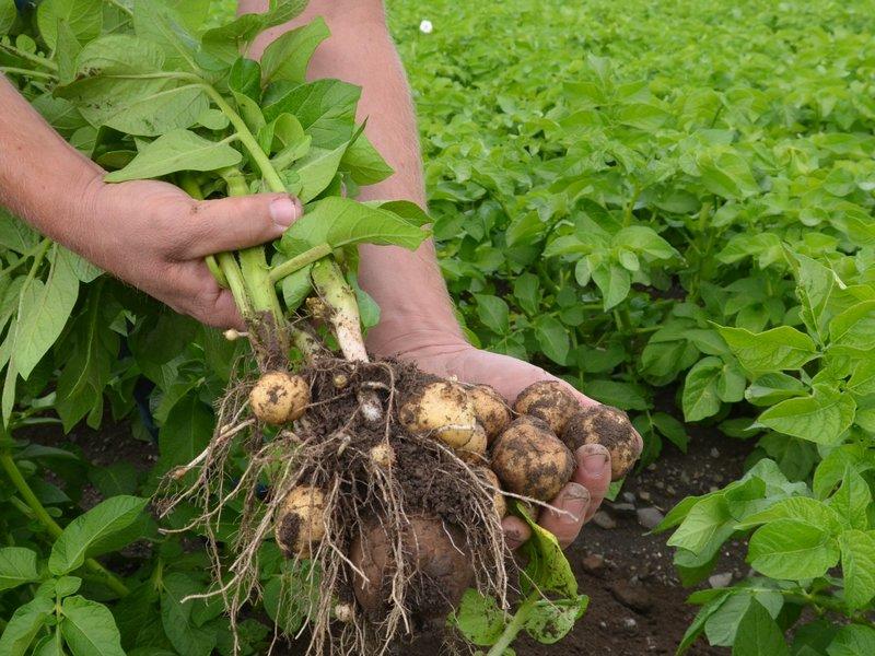 poteter dyrket av den norske bonden