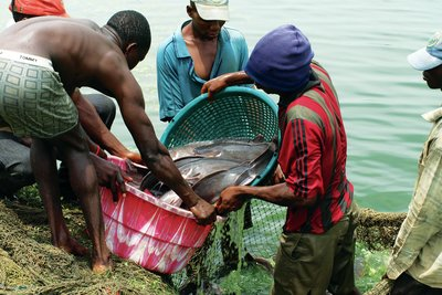 Nigeria catfish farming
